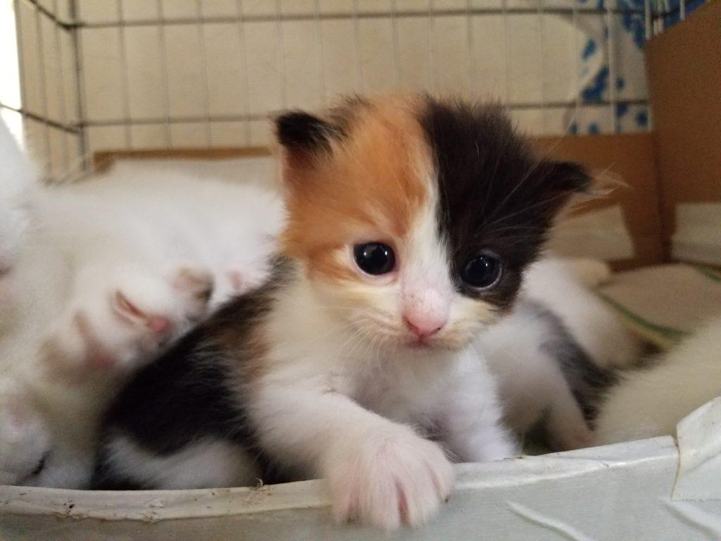 猫 マンチカン 白玉B